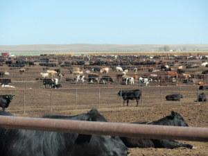cows in a CAFO