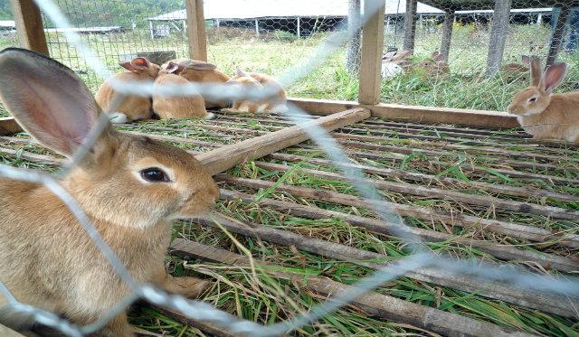 Rabbits_at_Polyface_Farm