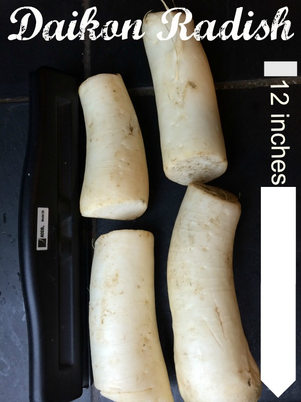24 inches of daikon radish, 2-3 inches in girth