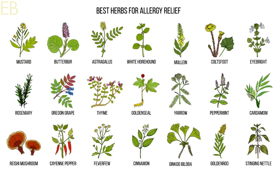 images of several herbs used for seasonal allergy relief and hayfever