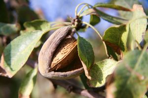 close-up photo of almond growing